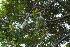 Grupp av durians på träd Arkivbild