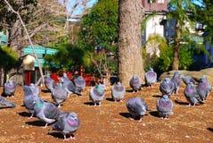 Grupp av duvan som vilar på den sandiga Tokyo, Japan Royaltyfri Fotografi