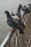 Grupp av duvor på floden Arkivfoton