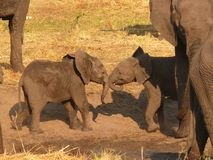 Grupp av elefanter fotografering för bildbyråer