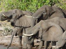Grupp av elefanter i Botswana Arkivbilder