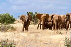 Grupp av elefanter i Savanaen, Tsavo nationalpark, Kenya arkivbilder