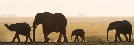 Grupp av elefanter som går på savannahen _ kenya tanzania serengeti Maasai Mara arkivfoto
