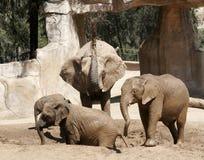 Grupp av elefanter som leker i muden och vattnet arkivbilder