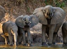 Grupp av elefanter som står nära vattnet zambia Fäll ned den Zambezi nationalparken Royaltyfri Foto