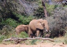 Grupp av elefanter under afrikansk vegetation royaltyfri foto