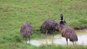 Grupp av emufåglar
