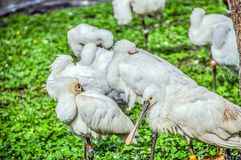 Grupp av EurasianSpoonbill Royaltyfri Bild
