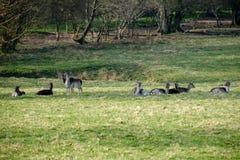 Grupp av europén Roe Deer Arkivbild