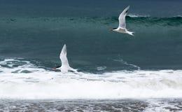 Grupp av fåglar som flyger över Stilla havet Fotografering för Bildbyråer