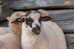 Grupp av f?rskr?ckta unga sheeps som ?r n?ra upp skott arkivbild