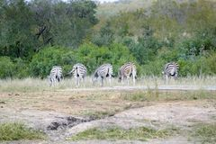 Grupp av fem afrikanska sebror i det l?st royaltyfri fotografi