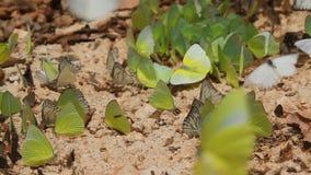 Grupp av fjärilar som äter salt soi stock video