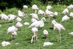 Grupp av flamingo Royaltyfria Bilder