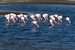 Grupp av flamingo Arkivfoton