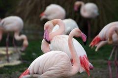Grupp av flamingo i ett damm arkivfoto