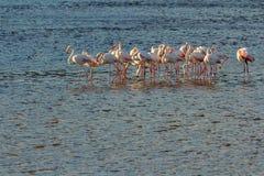 Grupp av flamingofåglar Royaltyfria Bilder