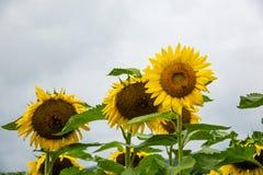 Grupp av flera solrosor med bin på den royaltyfria foton