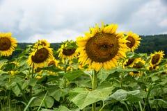 Grupp av flera solrosor med bin på den fotografering för bildbyråer