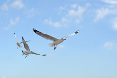 Grupp av flygseagullfågeln Royaltyfri Foto
