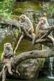 Grupp av Formosan sitta för Macaqueapor Arkivbilder
