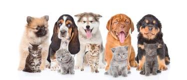 Grupp av fullblods- valpar och kattungar På vitbakgrund Royaltyfri Fotografi