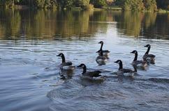 Grupp av gäss som simmar i en sjö i höst royaltyfri fotografi
