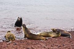 Grupp av Galapagos sjölejon Fotografering för Bildbyråer
