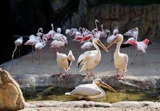 Grupp av gemensamma pelikan, Pelecanusonocrotalus som argumenterar bland dem med flamingo i bakgrunden arkivbild