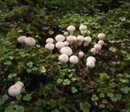 Grupp av gemensamma puffballs - lycoperdonperlatum Royaltyfri Bild