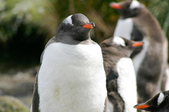 Grupp av Gentoo pingvin Royaltyfri Bild
