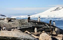 Grupp av Gentoo pingvin Royaltyfri Fotografi