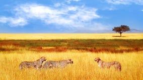 Grupp av geparder i den afrikanska savannahen Afrika Tanzania, Serengeti nationalpark L?st liv av Afrika fotografering för bildbyråer