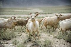 Grupp av getfältet, Padum, Zanskar vally royaltyfri fotografi