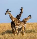 Grupp av giraff i savannet kenya tanzania 5 2009 för tanzania för östlig marsch för maasai för africa dans utförande krigare by Royaltyfria Bilder