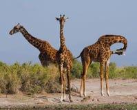 Grupp av giraff i savannet kenya tanzania 5 2009 för tanzania för östlig marsch för maasai för africa dans utförande krigare by Arkivfoton