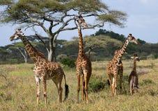 Grupp av giraff i savannet kenya tanzania 5 2009 för tanzania för östlig marsch för maasai för africa dans utförande krigare by Arkivfoto