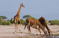 Grupp av giraff på bevattna kenya tanzania 5 2009 för tanzania för östlig marsch för maasai för africa dans utförande krigare by Royaltyfria Bilder