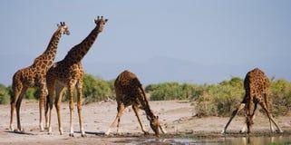 Grupp av giraff på bevattna kenya tanzania 5 2009 för tanzania för östlig marsch för maasai för africa dans utförande krigare by Royaltyfri Fotografi
