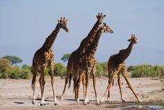 Grupp av giraff på bevattna kenya tanzania 5 2009 för tanzania för östlig marsch för maasai för africa dans utförande krigare by Royaltyfria Foton