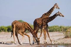 Grupp av giraff på bevattna kenya tanzania 5 2009 för tanzania för östlig marsch för maasai för africa dans utförande krigare by Royaltyfri Bild