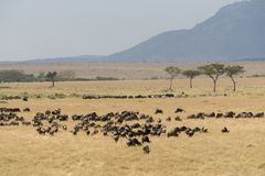 Grupp av gnu på masaien Mara Royaltyfri Foto