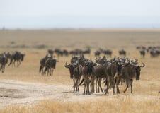 Grupp av gnu på masaien Mara royaltyfri bild