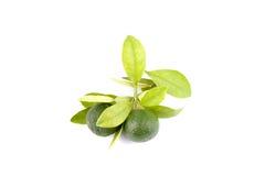 Grupp av grön calamansi och blad som används i stället för citronen som isoleras på vit bakgrund fotografering för bildbyråer