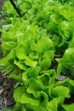 Grupp av grön grönsallat Arkivfoto