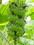 Grupp av gröna bananer Royaltyfri Bild
