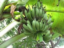 Grupp av gröna bananer på en tree royaltyfria foton