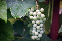 Grupp av gröna druvor arkivfoto