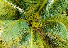 Grupp av gröna kokosnötter i palmträd Royaltyfria Bilder