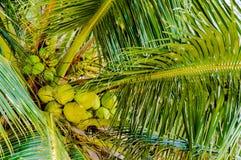 Grupp av gröna kokosnötter i palmträd Royaltyfri Foto